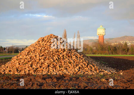 Sugar beet, Sugar-beet, Beet root, Sugar-beet root (Beta vulgaris var. altissima), heap of sugar beets on acre in - Stock Photo