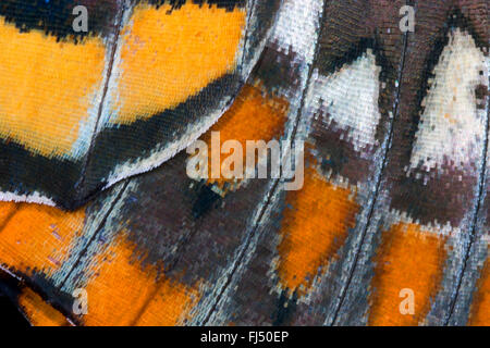 Two-tailed Pasha, Foxy Emperor (Charaxes jasius), wing pattern, scales of the wing - Stock Photo