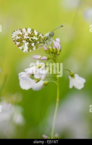 Orange-tip (Anthocharis cardamines), female on cuckoo flower, side view, Germany, Rhineland-Palatinate - Stock Photo