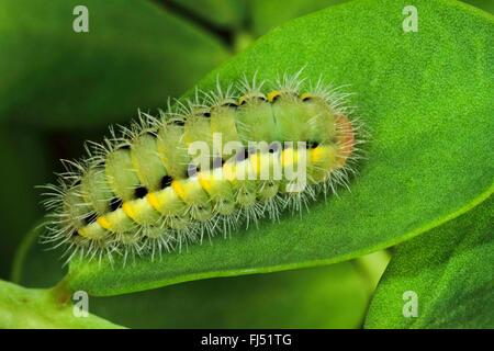 Auspicious Burnet Moth (Zygaena fausta, Zygaena faustina), caterpillar on a leaf, Germany - Stock Photo