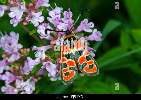 Auspicious Burnet Moth (Zygaena fausta, Zygaena faustina), on Origanum, Germany - Stock Photo