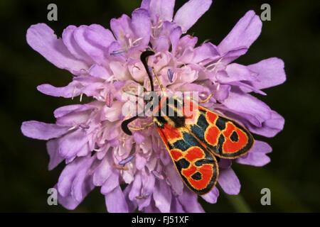 Auspicious Burnet Moth (Zygaena fausta, Zygaena faustina), on a scabious flower, Germany - Stock Photo