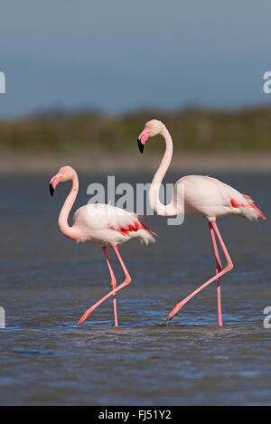 greater flamingo (Phoenicopterus roseus, Phoenicopterus ruber roseus), two flamingos walking together through shallow - Stock Photo