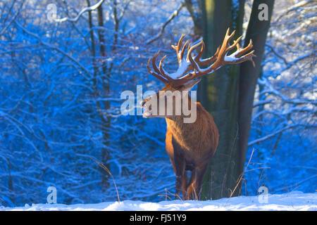 red deer (Cervus elaphus), impressive stag in winter, Germany, North Rhine-Westphalia - Stock Photo