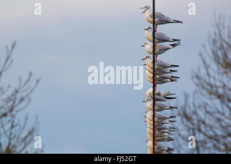 black-headed gull (Larus ridibundus, Chroicocephalus ridibundus), troop on a wire rope, Germany, Bavaria, Niederbayern, - Stock Photo