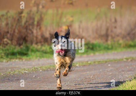 English Setter (Canis lupus f. familiaris), running on a field path, Germany, Bavaria, Niederbayern, Lower Bavaria - Stock Photo