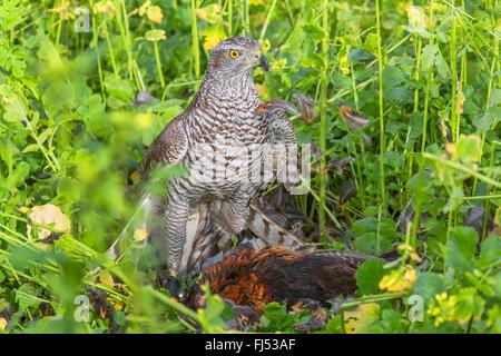 northern goshawk (Accipiter gentilis), caught a pheasant, Germany, Bavaria, Niederbayern, Lower Bavaria - Stock Photo