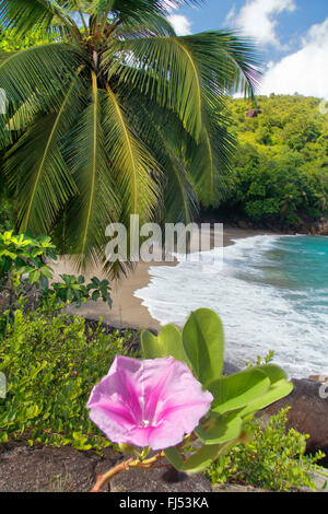 beach morning glory (Ipomoea pes-caprae), beach with a coconut tree and the blooming morning glory, Seychelles, - Stock Photo