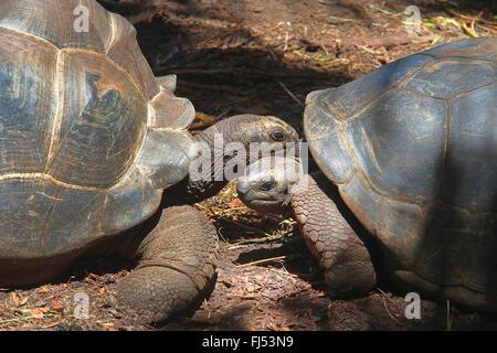 Seychelles giant tortoise, Aldabran giant tortoise, Aldabra giant tortoise (Aldabrachelys gigantea, Testudo gigantea, Geochelone gigantea, Megalochelys gigantea), portrait of two animals, Seychelles, La Digue Stock Photo