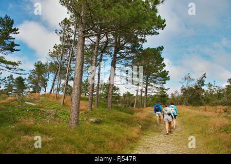 Scotch pine, Scots pine (Pinus sylvestris), wanderers in open pine forest, Denmark, Juetland, Lobjerg, Thy National - Stock Photo