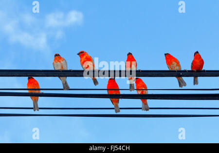 Madagascan red fody (Foudia madagascariensis), males on a phone line, Seychelles, Praslin - Stock Photo