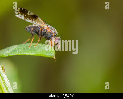 Tephritid fly (Tephritis neesii), male on ox-eye daisy (Leucanthemum vulgare), Germany Stock Photo