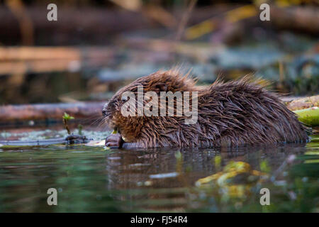Eurasian beaver, European beaver (Castor fiber), feeds a willow twig in water, Switzerland, Lake Constance - Stock Photo