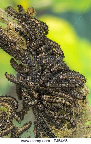 small tortoiseshell (Aglais urticae, Nymphalis urticae), young caterpillars, Germany - Stock Photo