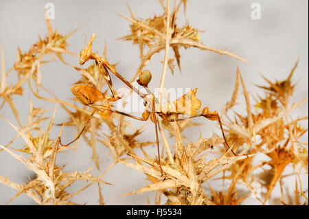 Wandering violin mantis, Indian rose mantis (Gongylus gongylodes), well camouflaged on withered plant - Stock Photo