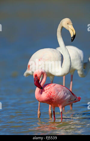 Lesser flamingo (Phoeniconaias minor, Phoenicopterus minor), standing in the shallow water together with a greater - Stock Photo