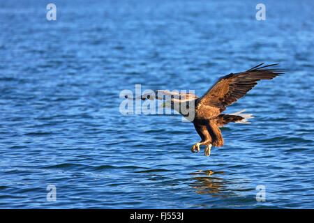 white-tailed sea eagle (Haliaeetus albicilla), catching a fish at Luzinsee, Germany, Mecklenburg-Western Pomerania Stock Photo