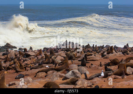 South African fur seal, Cape fur seal (Arctocephalus pusillus pusillus, Arctocephalus pusillus), seal colony at - Stock Photo
