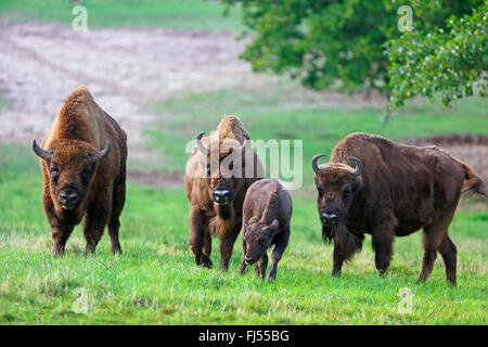 European bison, wisent (Bison bonasus), group with a calf in a meadow, Germany, Mecklenburg-Western Pomerania, Damerower - Stock Photo