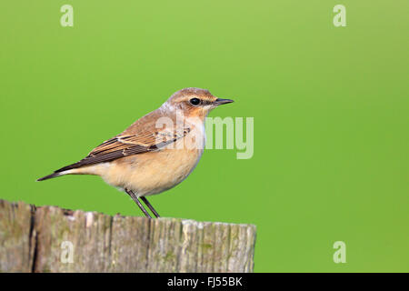 northern wheatear (Oenanthe oenanthe), female sitting on a fence post, side view, Netherlands, Frisia - Stock Photo