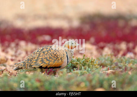 black-bellied sandgrouse (Pterocles orientalis), male sitting in the semi-desert, side view, Canary Islands, Fuerteventura - Stock Photo