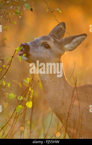 roe deer (Capreolus capreolus), feeding doe, portrait, Germany, Brandenburg - Stock Photo