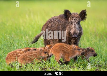 wild boar, pig, wild boar (Sus scrofa), wild sow with runts, Germany, Brandenburg - Stock Photo