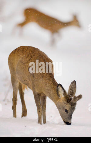 roe deer (Capreolus capreolus), buck on the feed in snow, Germany, Brandenburg - Stock Photo