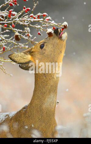 roe deer (Capreolus capreolus), buck in winter with velvet on the horns, feeding rose-hips, Germany, Brandenburg - Stock Photo