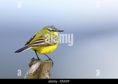 Yellow wagtail (Motacilla flava), male sitting on a fence post, Netherlands, Frisia - Stock Photo