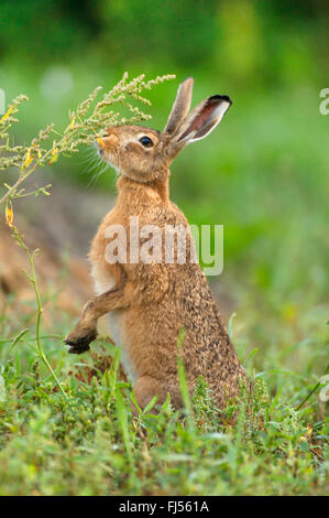 European hare, Brown hare (Lepus europaeus), on the feed in a meadow, Germany, Brandenburg - Stock Photo