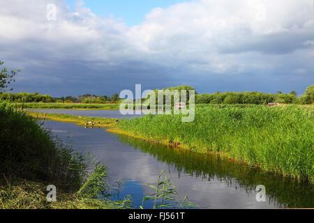 reeds in the sewage farm Muenster, Germany, North Rhine-Westphalia, Munster - Stock Photo