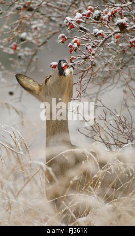 roe deer (Capreolus capreolus), doe feeds rose-hips in winter, Germany, Brandenburg - Stock Photo
