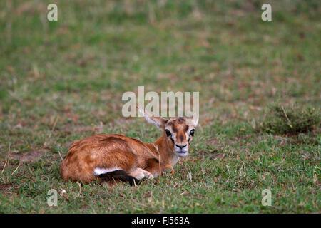 Thomson's gazelle (Gazella thomsoni, Eudorcas thomsoni), gazelle pup, Kenya, Masai Mara National Park - Stock Photo