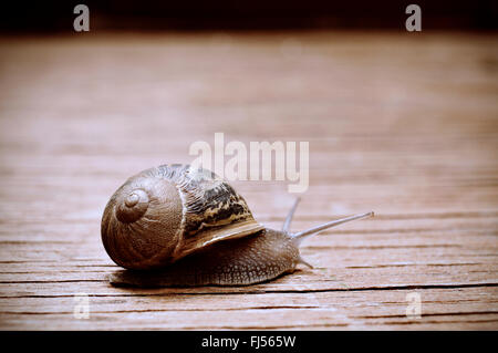 closeup of a land snail on a rustic wooden surface - Stock Photo