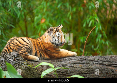Siberian tiger, Amurian tiger (Panthera tigris altaica), tiger cub lying on a tree trunk - Stock Photo