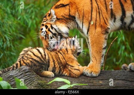 Siberian tiger, Amurian tiger (Panthera tigris altaica), tigress grooming her cub - Stock Photo