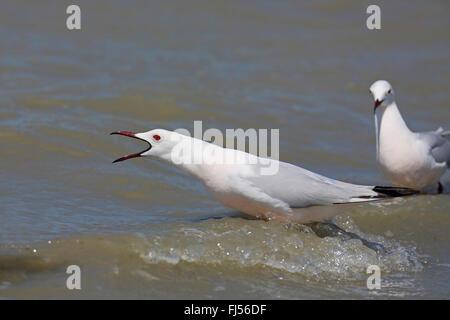slender-billed gull (Larus genei), calling gull at the seaside, France, Camargue - Stock Photo