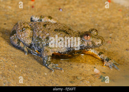 yellow-bellied toad, yellowbelly toad, variegated fire-toad (Bombina variegata), yellow-bellied toad sitting at - Stock Photo