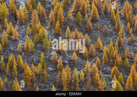 common larch, European larch (Larix decidua, Larix europaea), hiking trail through larch forest in autumn, Switzerland, - Stock Photo
