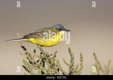 Ashy-headed Wagtail, Yellow wagtail (Motacilla flava cinereocapilla), male sitting on a succulent shrub, France, - Stock Photo