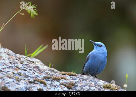blue rock thrush (Monticola solitarius), male sitting on a rock, Greece, Lesbos - Stock Photo