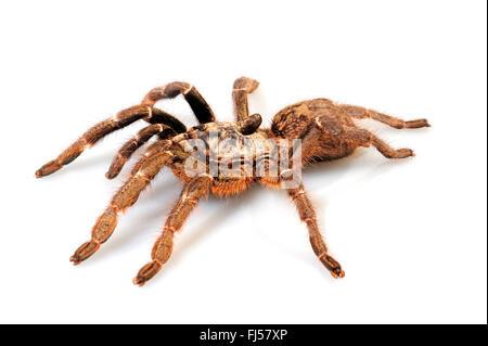 Horned baboon spider, African Rear-horned Baboon, Burst Horned Baboon, Straight Horn Tarantula (Ceratogyrus darlingi, - Stock Photo