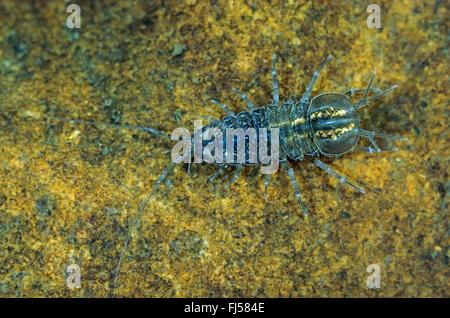 Freshwater woodlouse, Waterlouse, Aquatic sowbug, Water hoglouse (Asellus aquaticus), full-length portrait, view - Stock Photo