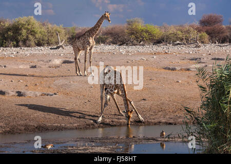 Angolan giraffe, Smoky giraffe (Giraffa camelopardalis angolensis), two Angolan giraffes drinking and waiting at - Stock Photo