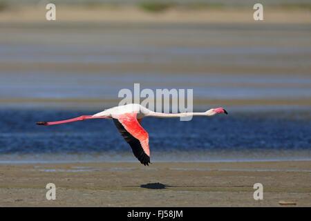 greater flamingo (Phoenicopterus roseus, Phoenicopterus ruber roseus), flying flamingo, side view, France, Camargue - Stock Photo