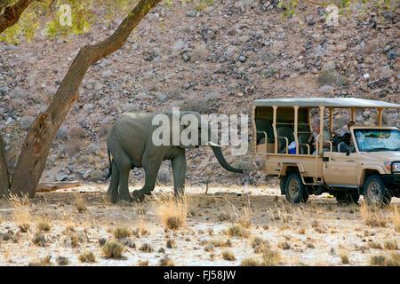 Desert elephant, Desert-dwelling elephant, African elephant (Loxodonta africana africana), desert elefant near a - Stock Photo