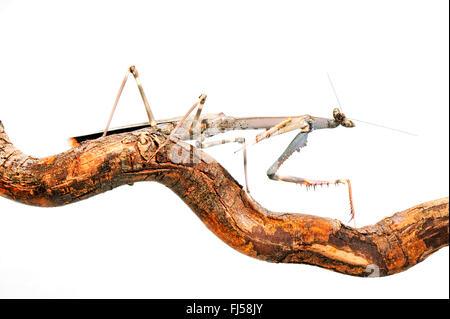 Giant African Stick Mantis, Tanzanian Stick Mantis, Cat-eye mantis, Chaeta (Heterochaeta occidentalis), on a branch, - Stock Photo