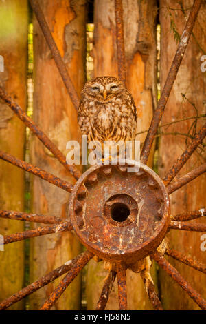 little owl (Athene noctua), sitting on a rusted wheel hub, front view - Stock Photo