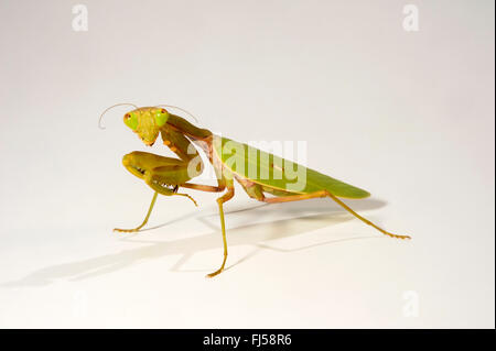 mantis (Spodromantis spec.), large green mantis from Java, cut-out, Indonesia, Insel Java - Stock Photo